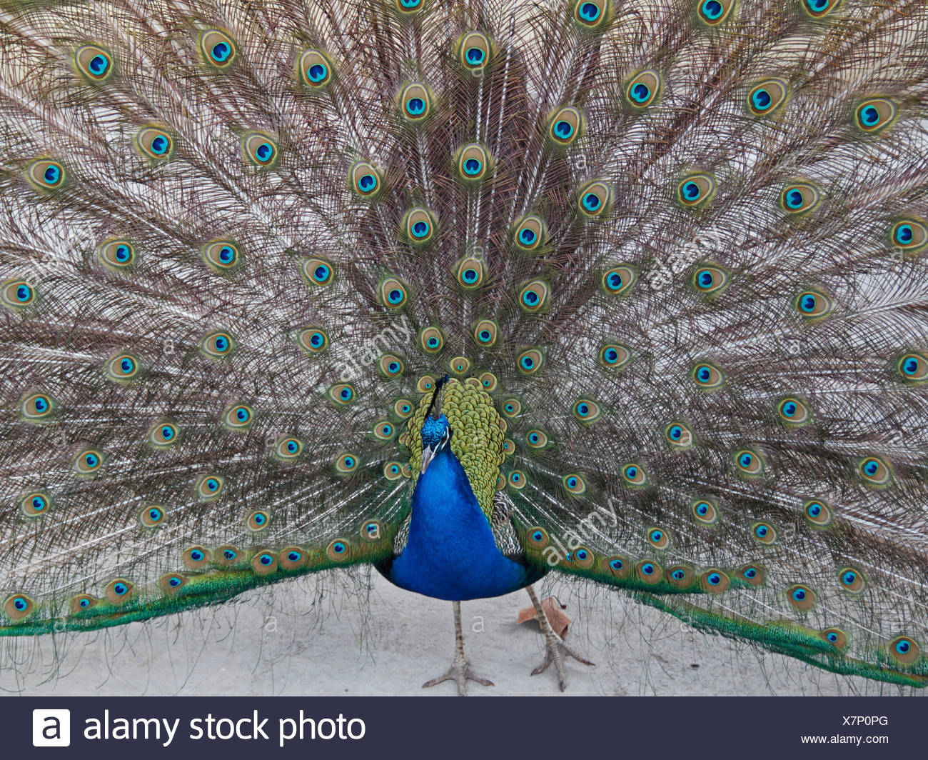 Peacock symbolism stock photos peacock symbolism stock images peacock stock image biocorpaavc Gallery