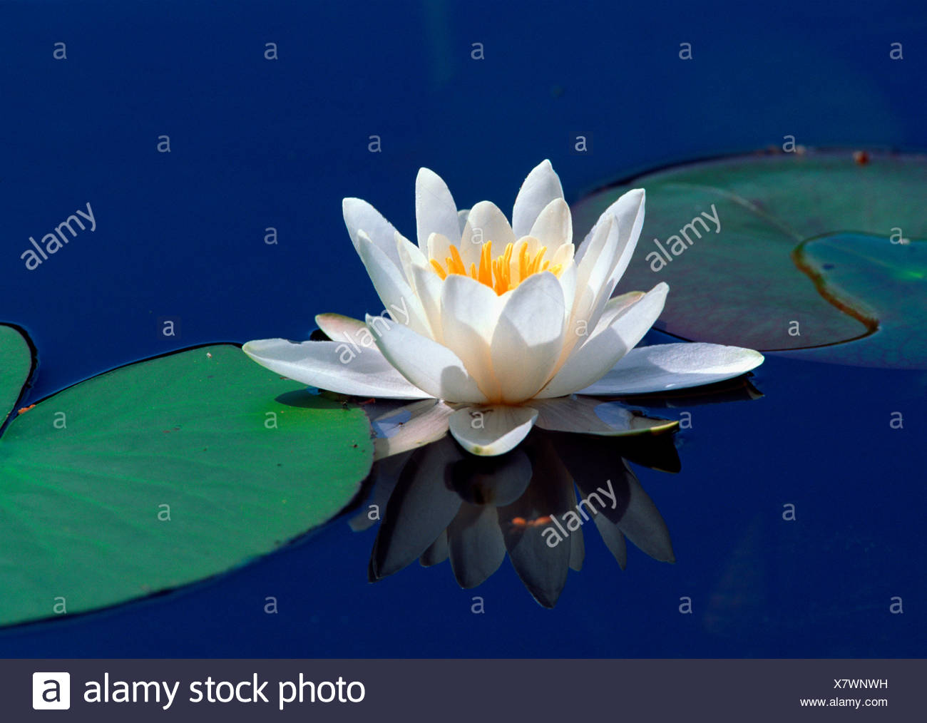 Water Lily In The Pool Nymphaea Lba Flower Plant Feng Shui