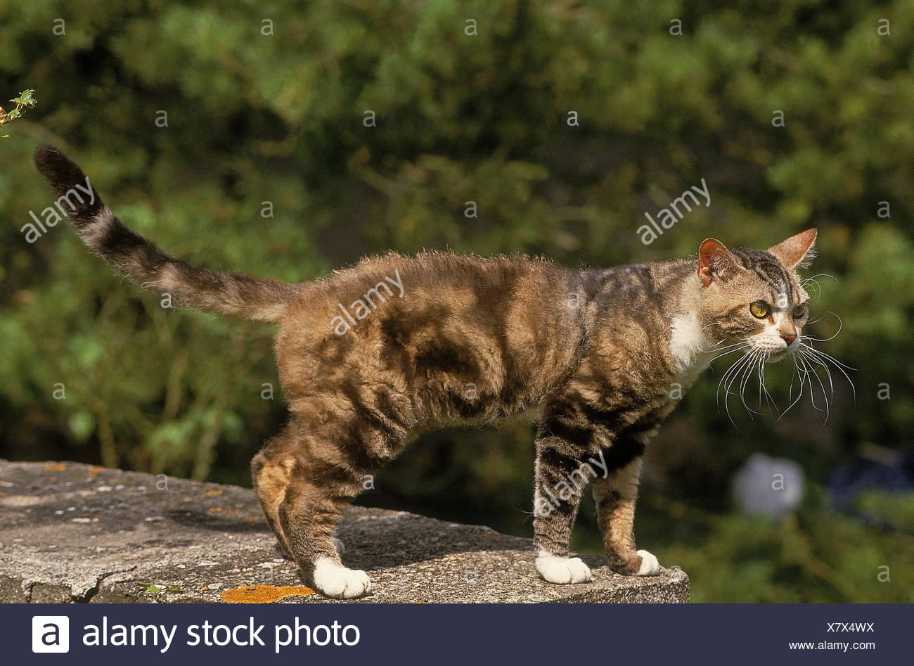 AMERICAN WIREHAIR DOMESTIC CAT, ADULT ON LOW WALL Stock Photo ...