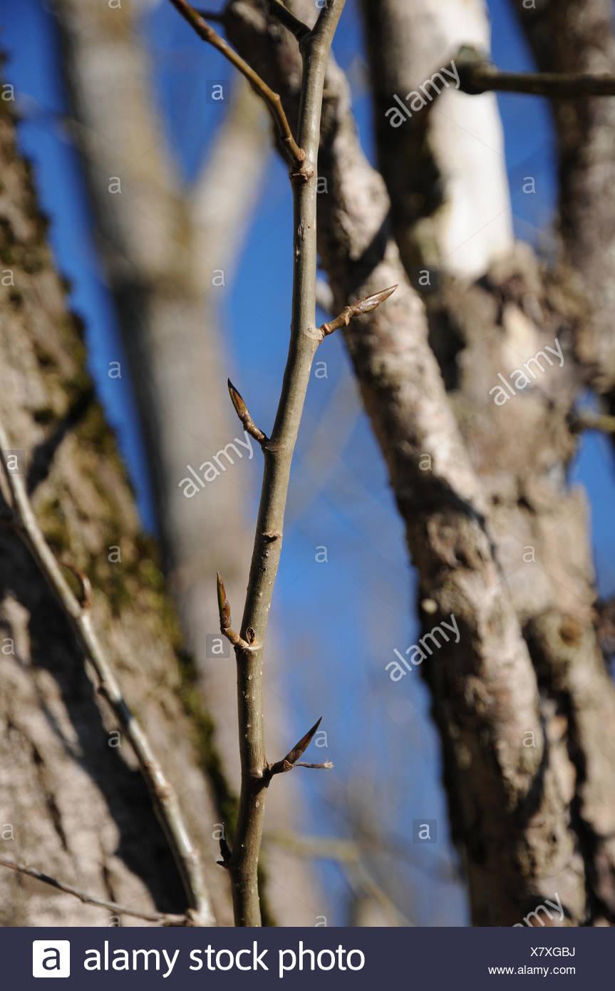 Populus Grandidentata Buds