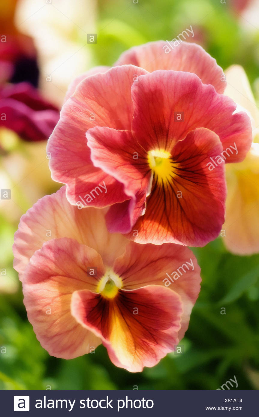 Coral pink pansy flower duet viola x wittrockiana stock photo coral pink pansy flower duet viola x wittrockiana mightylinksfo