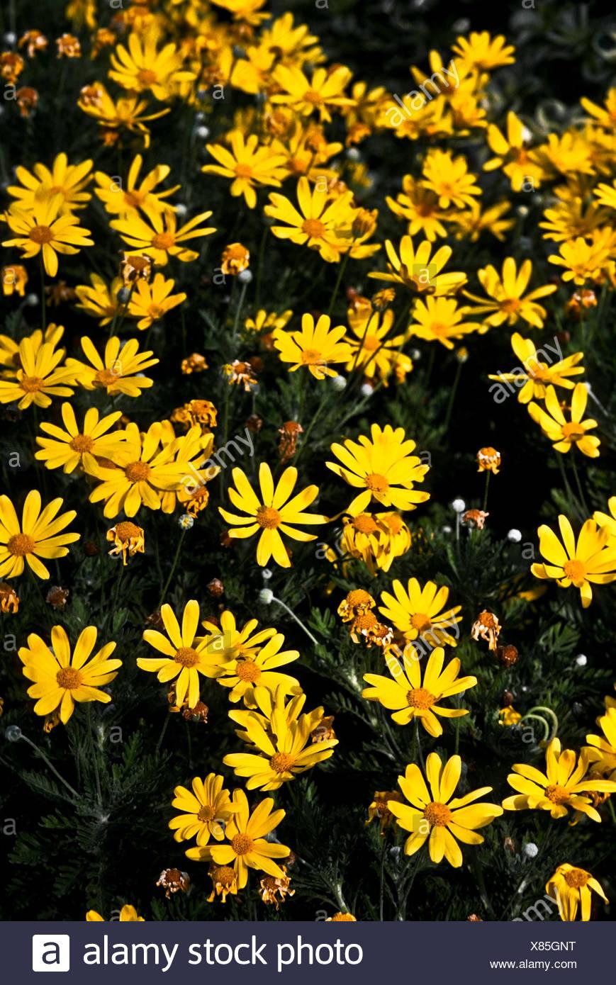 Euryops pectinatus is a daisy like flower that blooms in rich euryops pectinatus is a daisy like flower that blooms in rich yellows izmirmasajfo