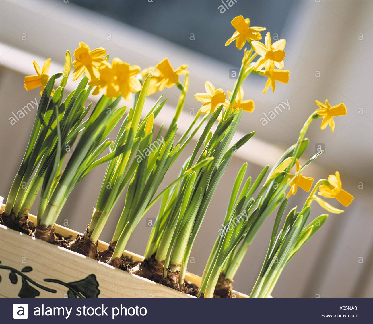 Window Box Narcissi Easter Decoration Potted Plants Indoor