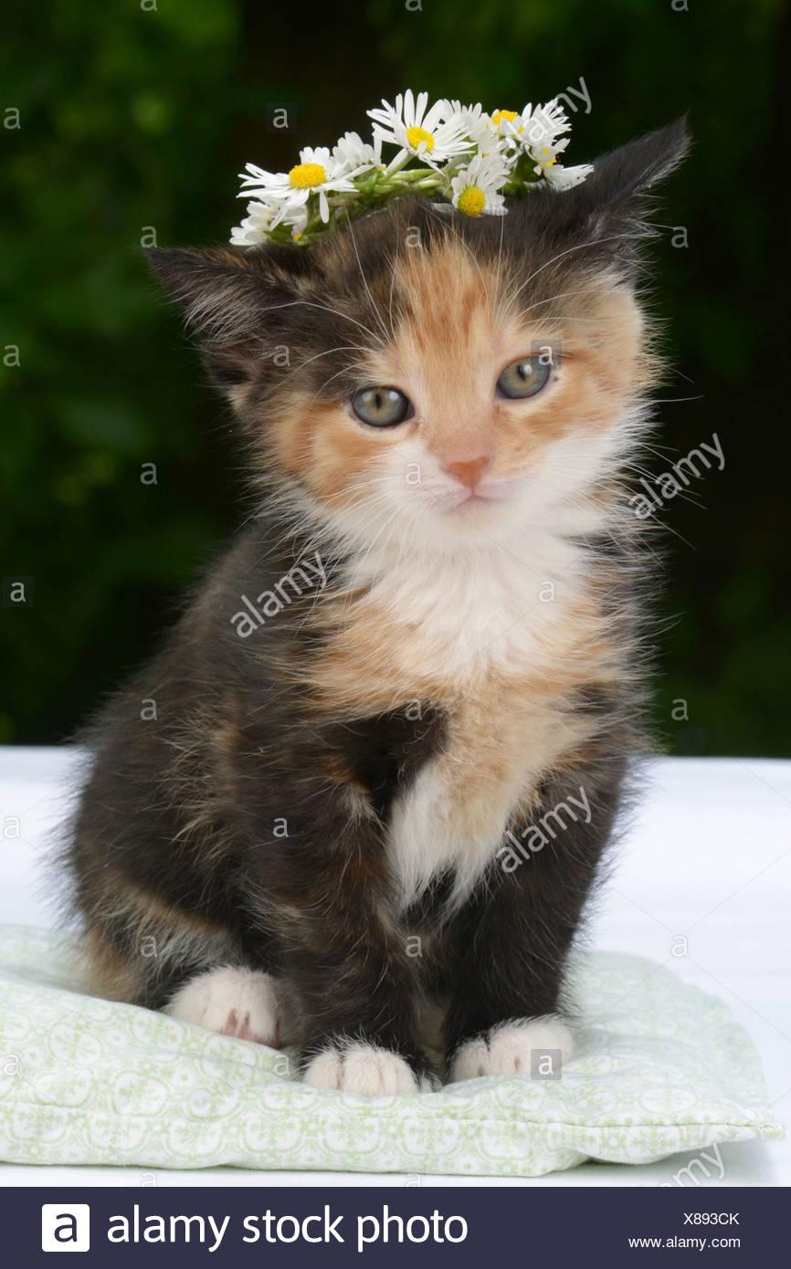 Domestic Cat Tricoloured Kitten 5 Weeks Old Wearing A Flower