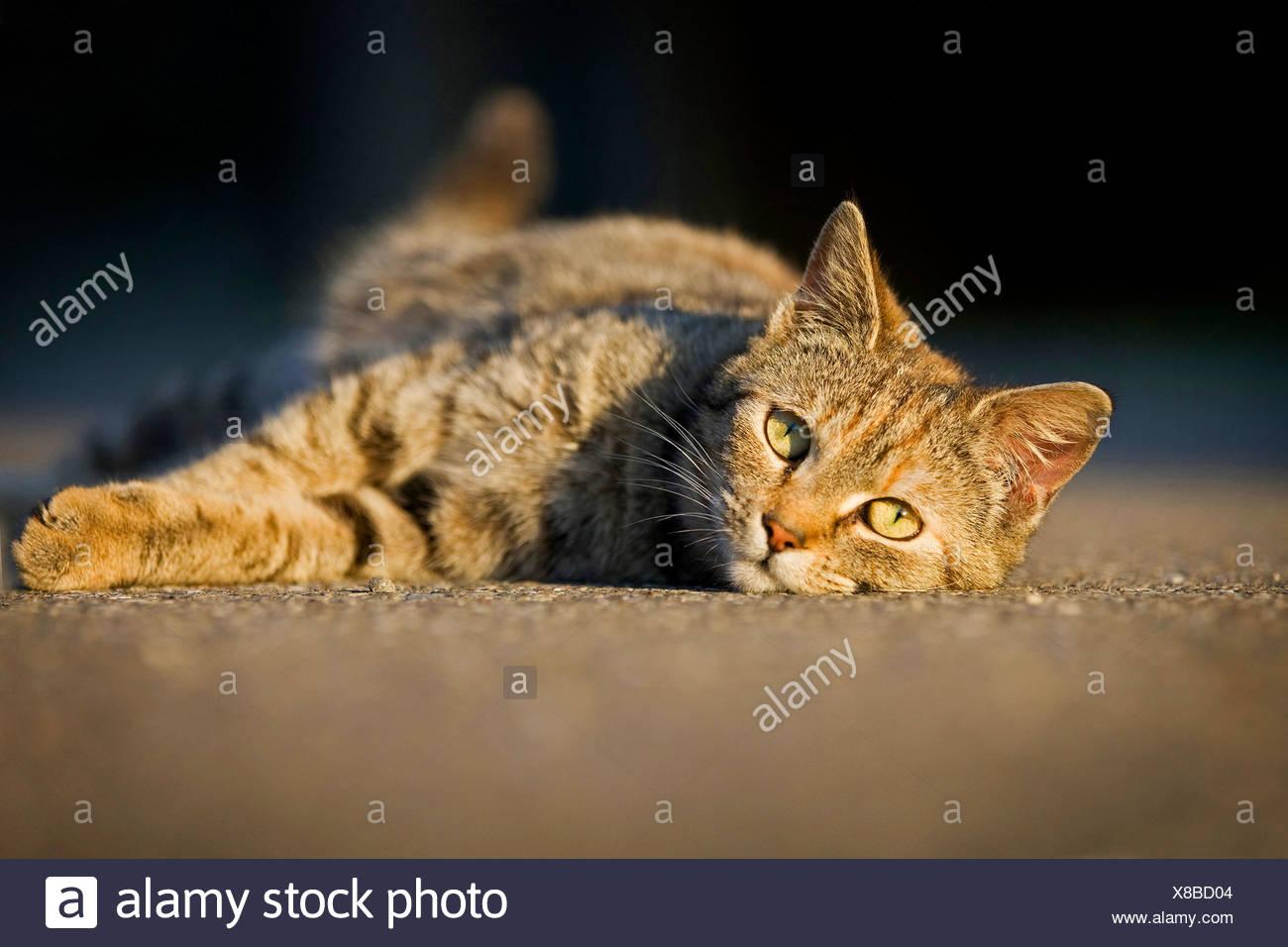 domestic cat, house cat (Felis silvestris f. catus), lying relaxed ...