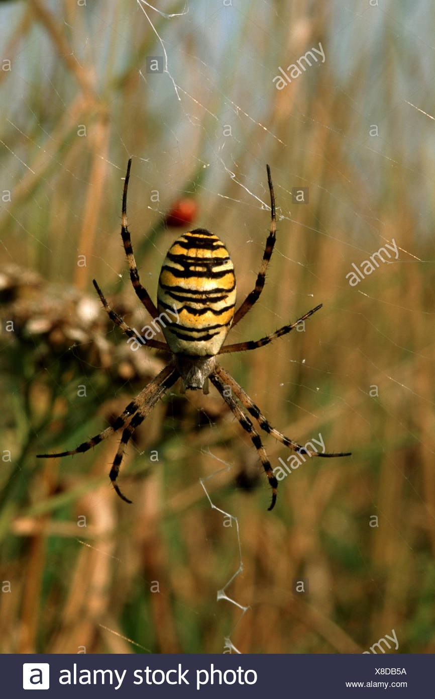 black-and-yellow argiope, black-and-yellow garden spider (Argiope ...
