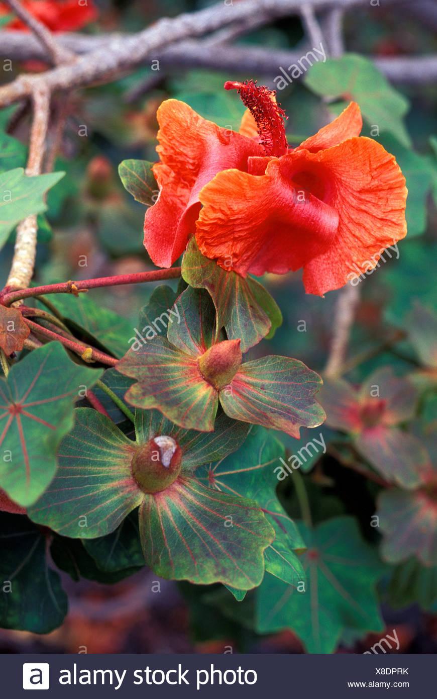 The kokia drynarioides flower malvaceae in various stages an the kokia drynarioides flower malvaceae in various stages an endangered native hawaiian plant kaupulehu izmirmasajfo
