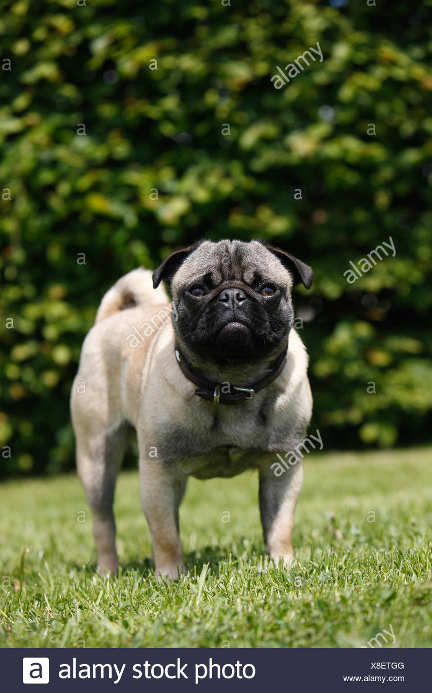Mixed Breed Dog Canis Lupus F Familiaris Mix Breed Between Pug