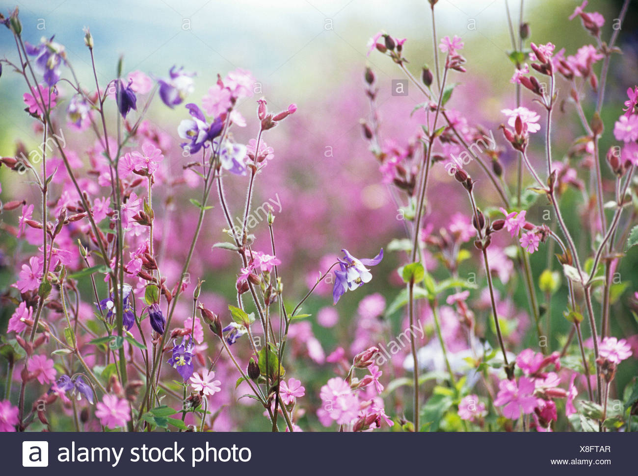 Lychnis flos jovis campion abundant small pink flowers on long lychnis flos jovis campion abundant small pink flowers on long stems mightylinksfo