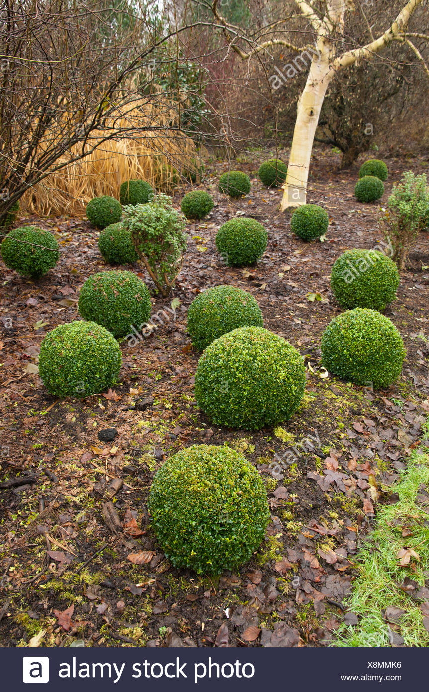 BOX TOPIARY IN THE WINTER GARDEN AT HILLIERS GARDEN Stock Photo ...