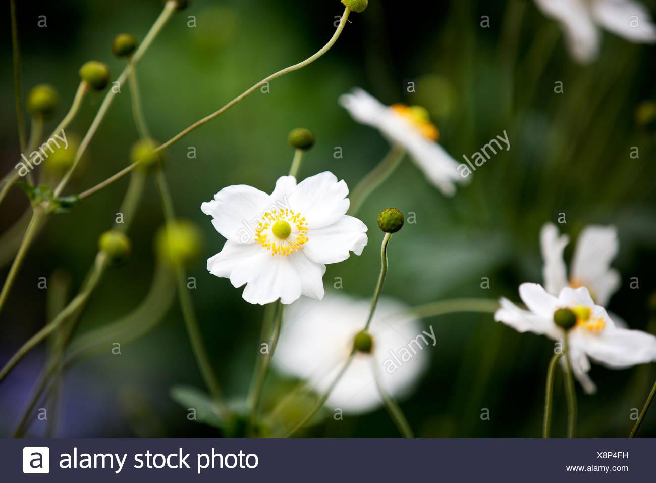 White Japanese Anemone Flowers Stock Photo 280769653 Alamy