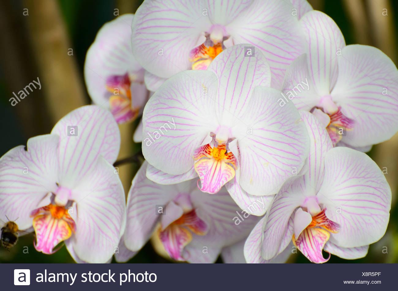 Panicle Of White Orchid Flowers Phalaenopsis Hybrid Stock Photo