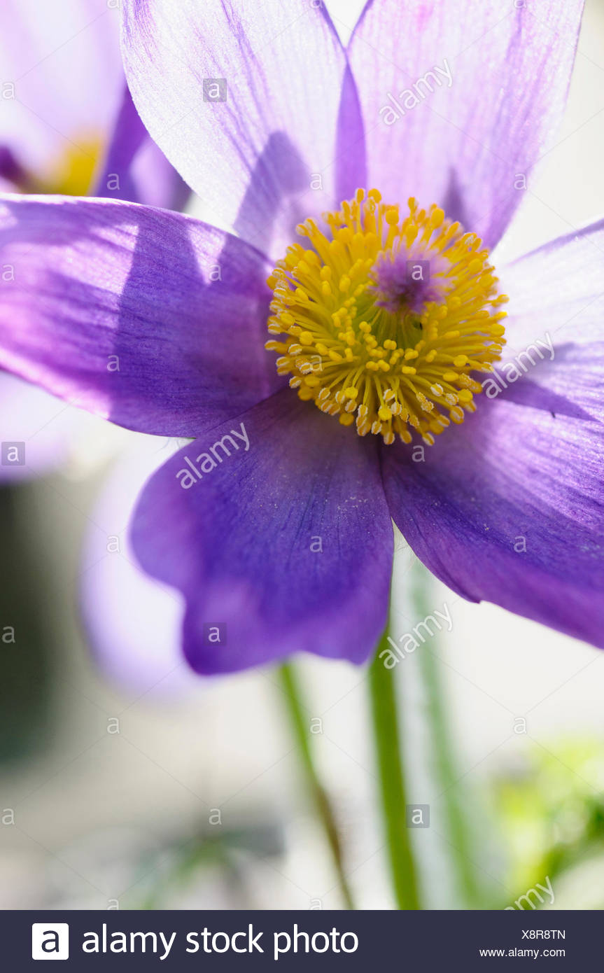 Pasque Flower Pulsatilla Vulgaris Close Cropped Front View Of One