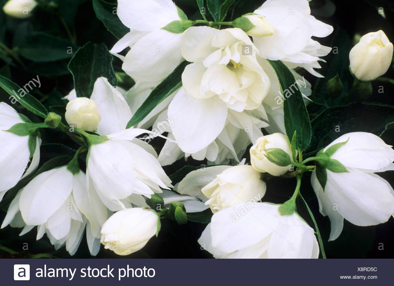 Philadelphus Mrs E L Robinson White Fragrant Flowers Garden