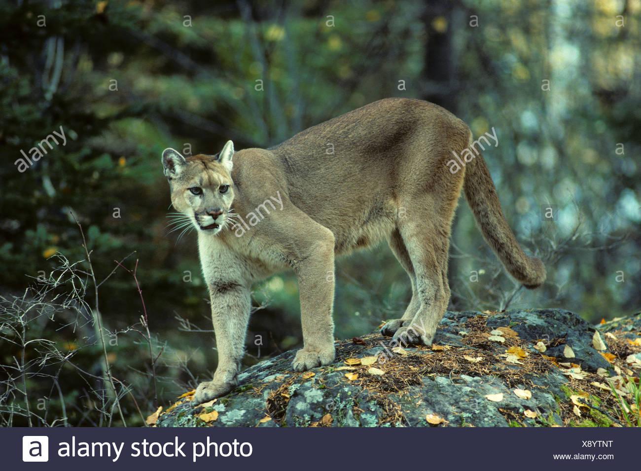 9ca81062b0c7 Adult female cougar (Puma concolor)