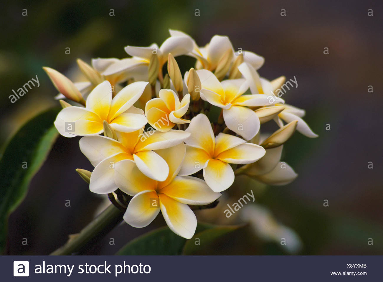 Hawaii Cluster Of White Plumeria Frangipani Flowers On Tree Stock