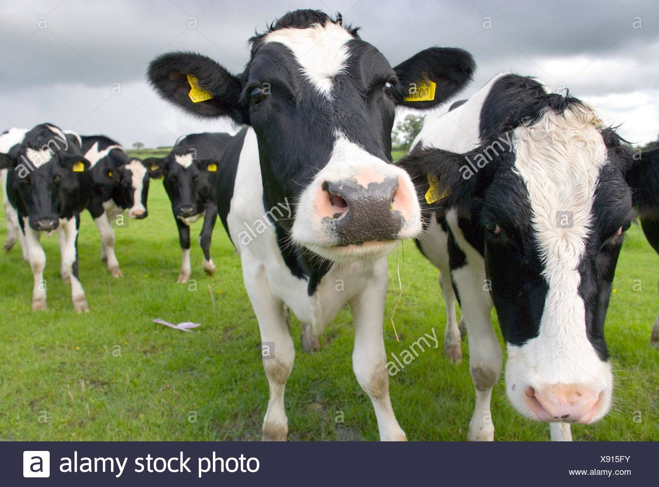 black and white cows on the pasture stock photo 280924111 alamy