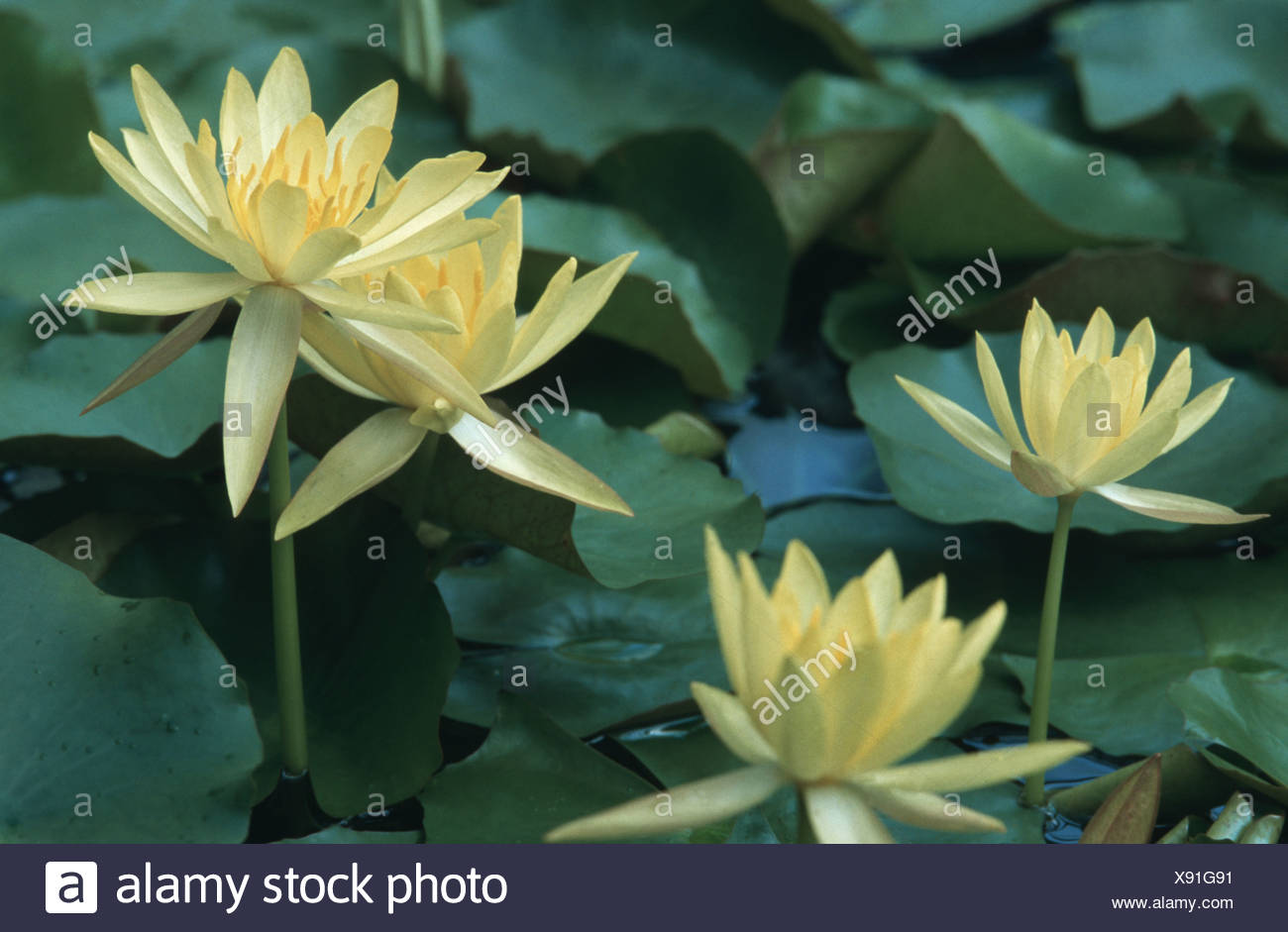 Mexican Waterlily Banana Waterlily Yellow Waterlily Nymphaea
