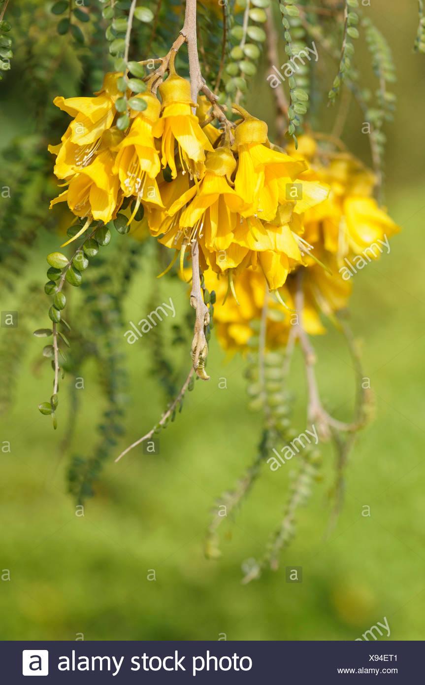 Cook Strait Kowhai Sophora Molloyi Panicles Of Dense Yellow