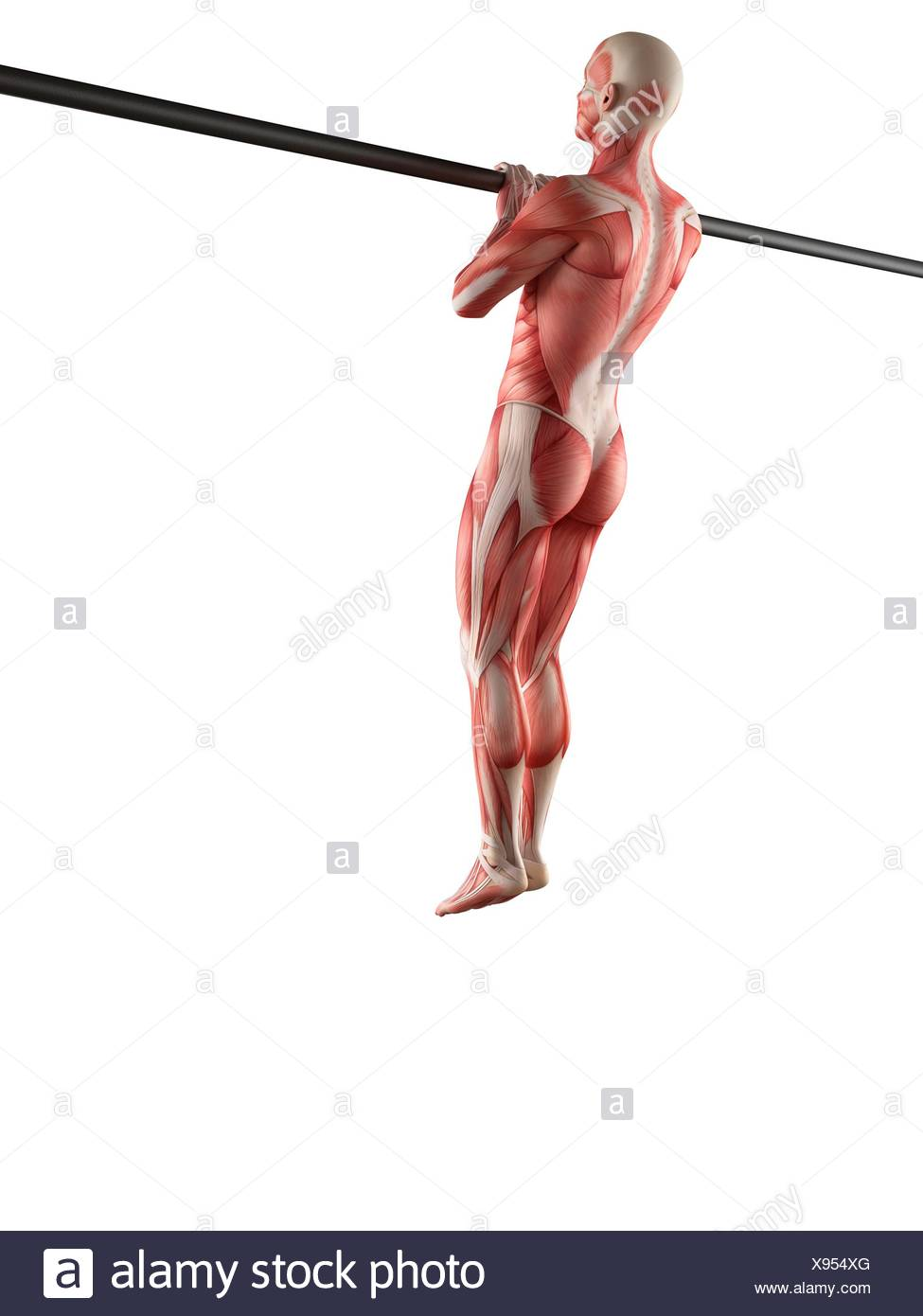 Muscular System Of Person Using Chin Up Bar Illustration Stock