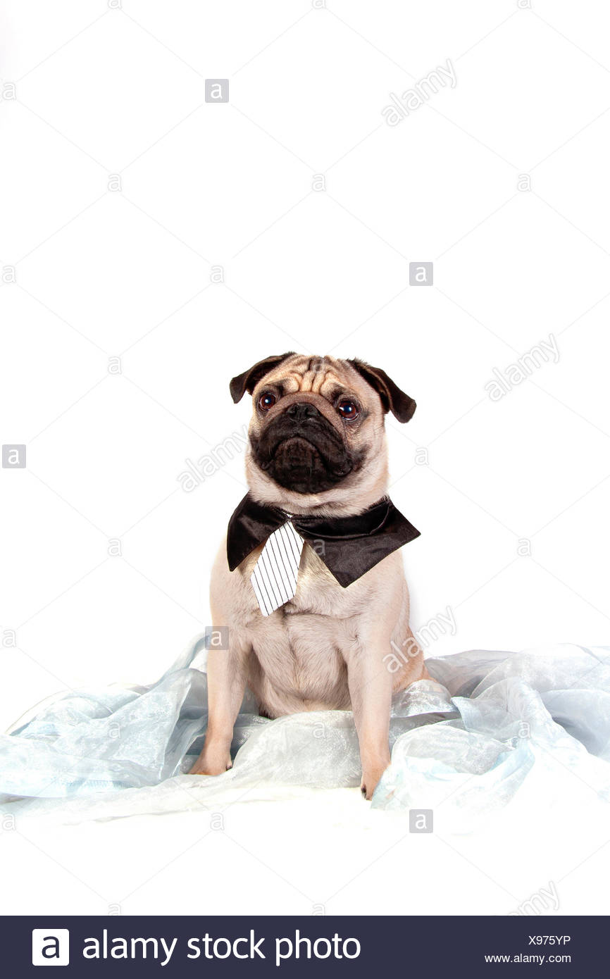 Pug Adult Male Wearing Tie And Shirt Collar Sitting On Light Blue