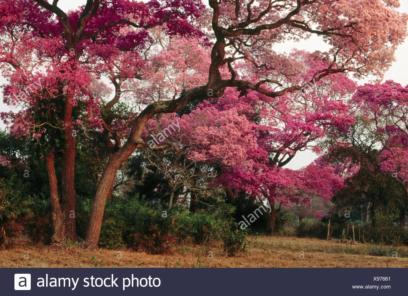 Pink trumpet trees in flower dry pasture with trees type of pink trumpet trees in flower dry pasture with trees type of landscape like savannah or park pantanal near pocone mato mightylinksfo