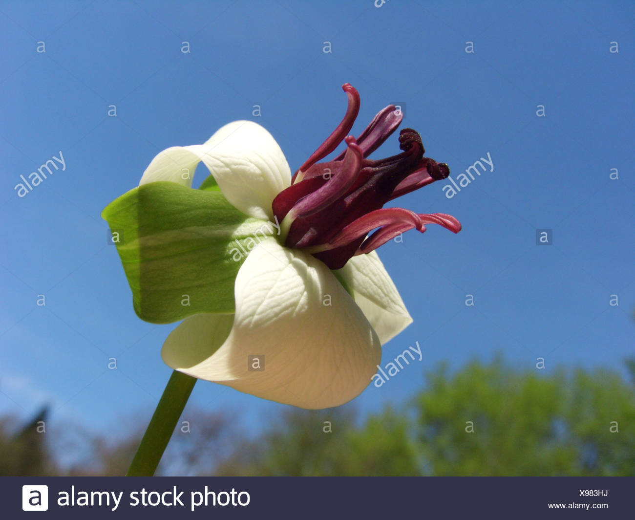 Nodding Trillium Trillium Rugellii Flower Against Blue Sky Stock