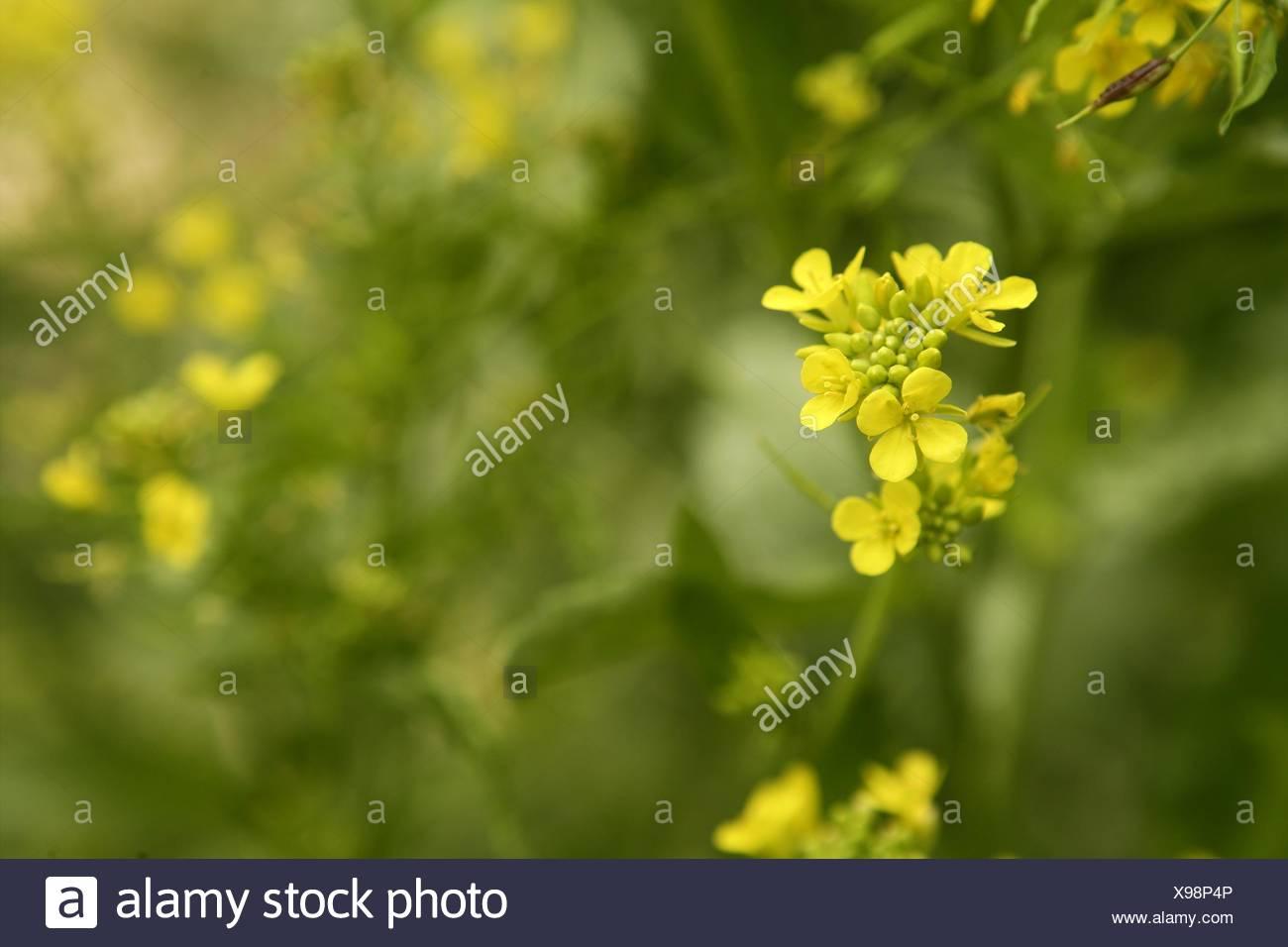Mustard flower sinapis aiba yellow flowers and plant nature stock mustard flower sinapis aiba yellow flowers and plant nature mightylinksfo
