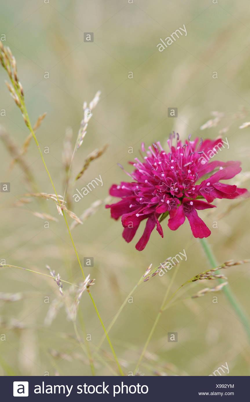 Knautia Macedonica Perennial Cornflower Single Pink Flower Growing