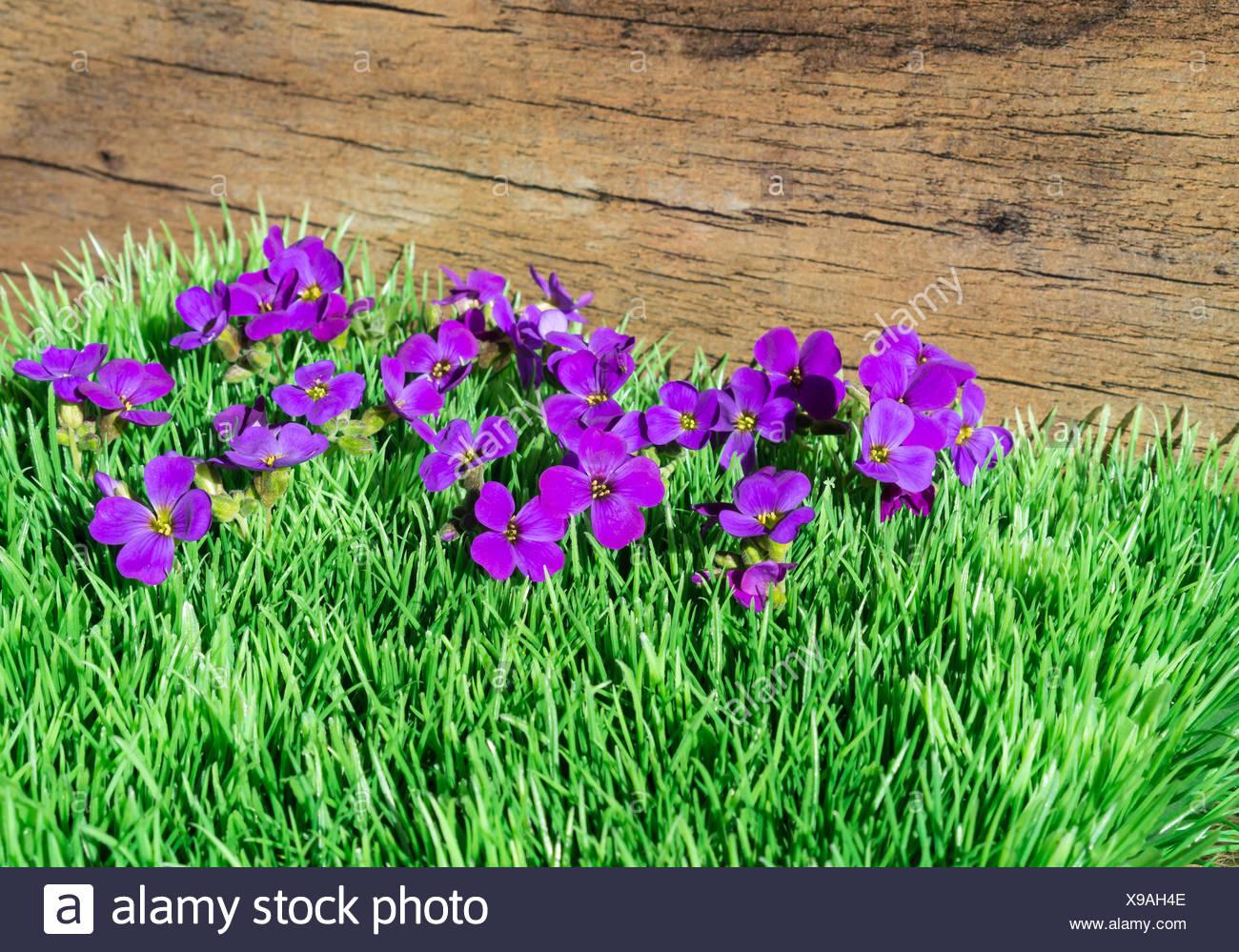 Little purple flowers in the sunshine purple rock cress stock little purple flowers in the sunshine purple rock cress mightylinksfo