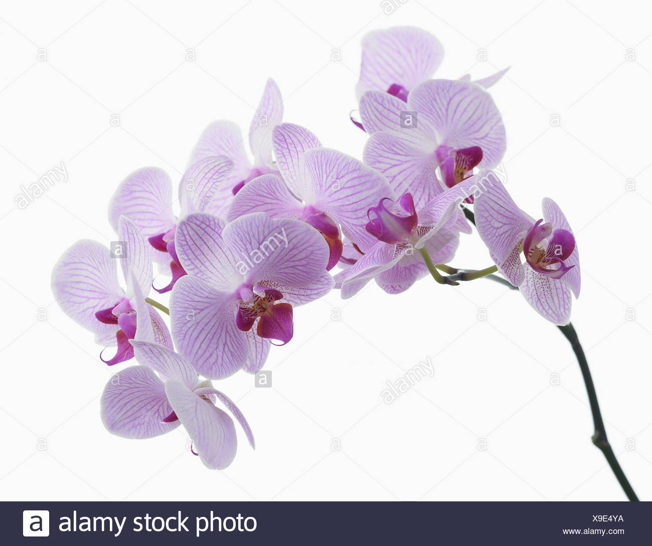 Phalaenopsis Shanghai Moth Orchid Single Stem With Purple Flowers