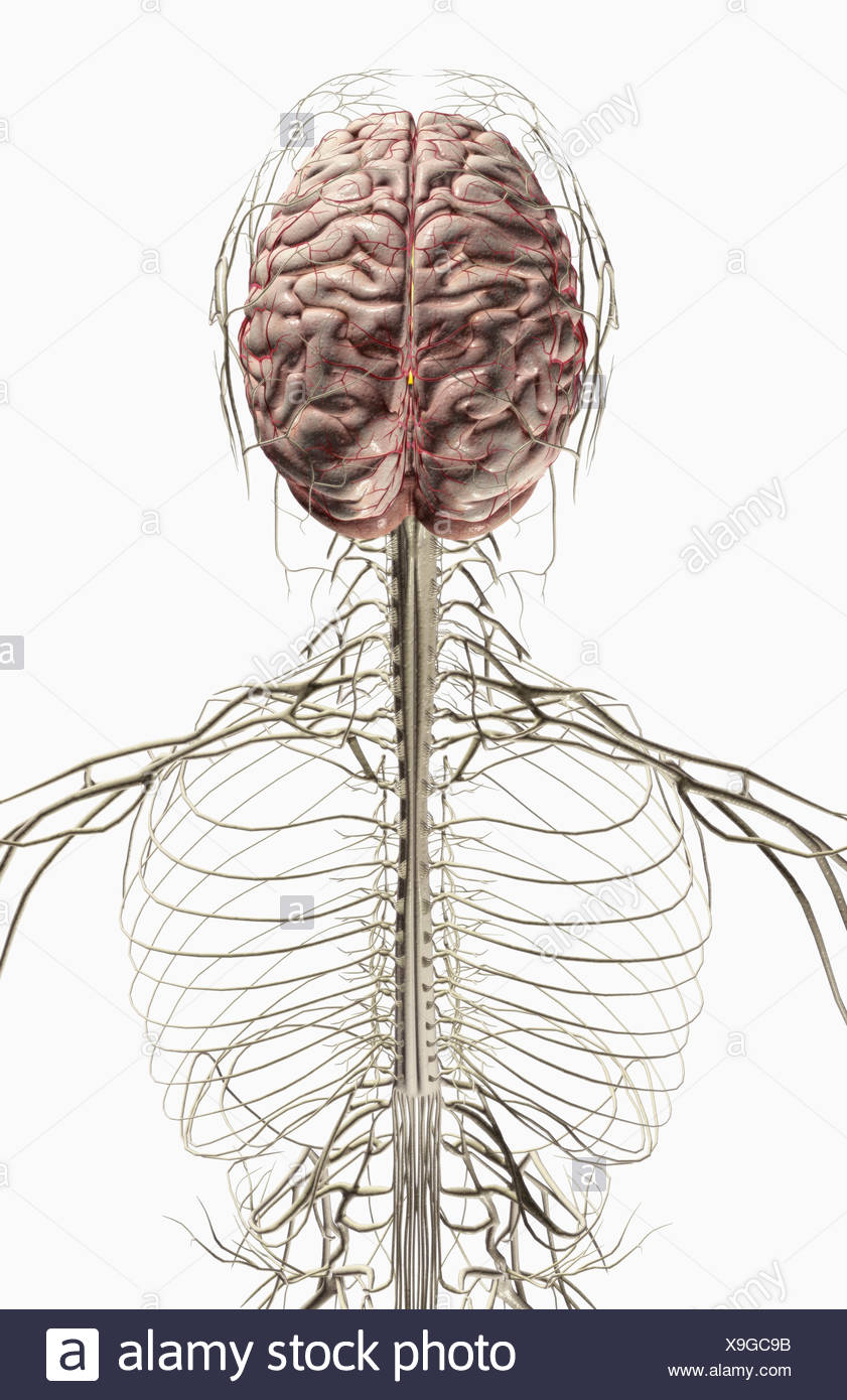 The Brain And Nerves Of The Head And Neck Stock Photo 281258695 Alamy