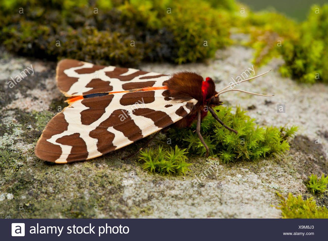 garden tiger moth, Germany / (Arctia caja Stock Photo: 281343611 - Alamy