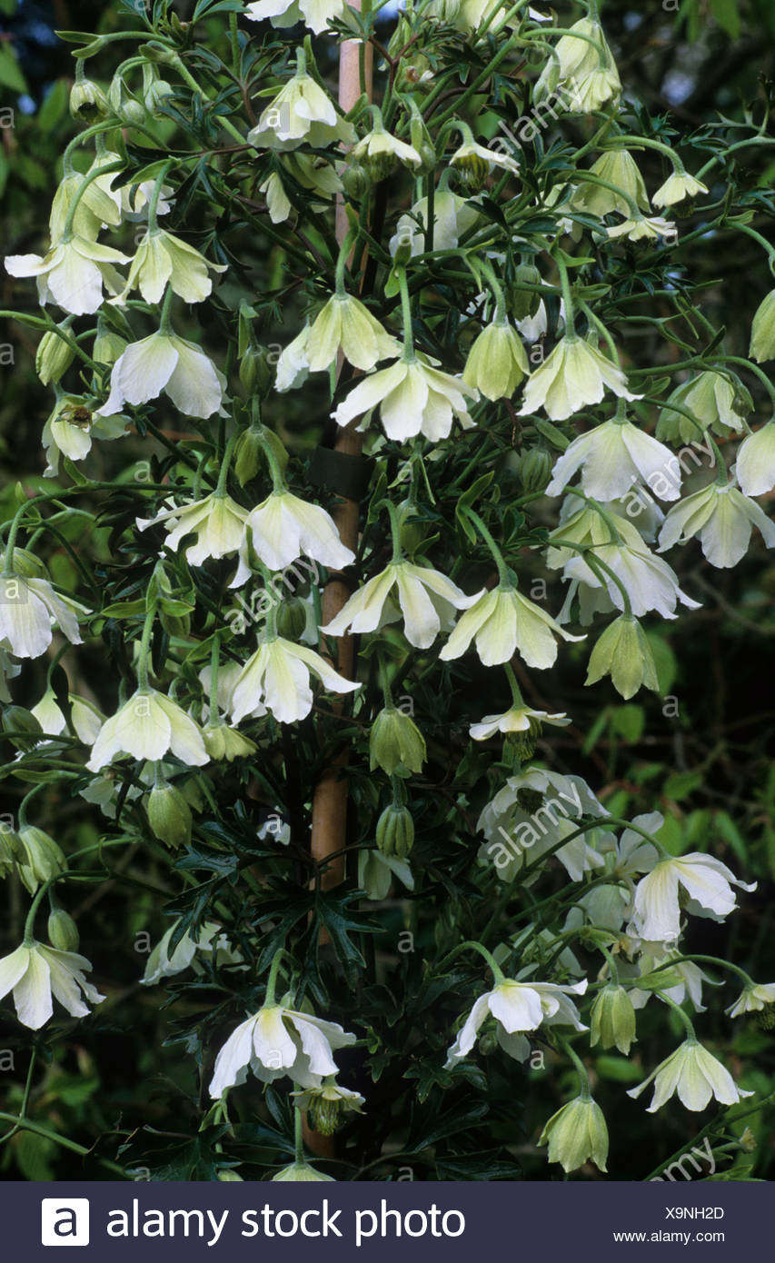 Clematis early sensation white flower flowers climbing plant clematis early sensation white flower flowers climbing plant garden plants mightylinksfo