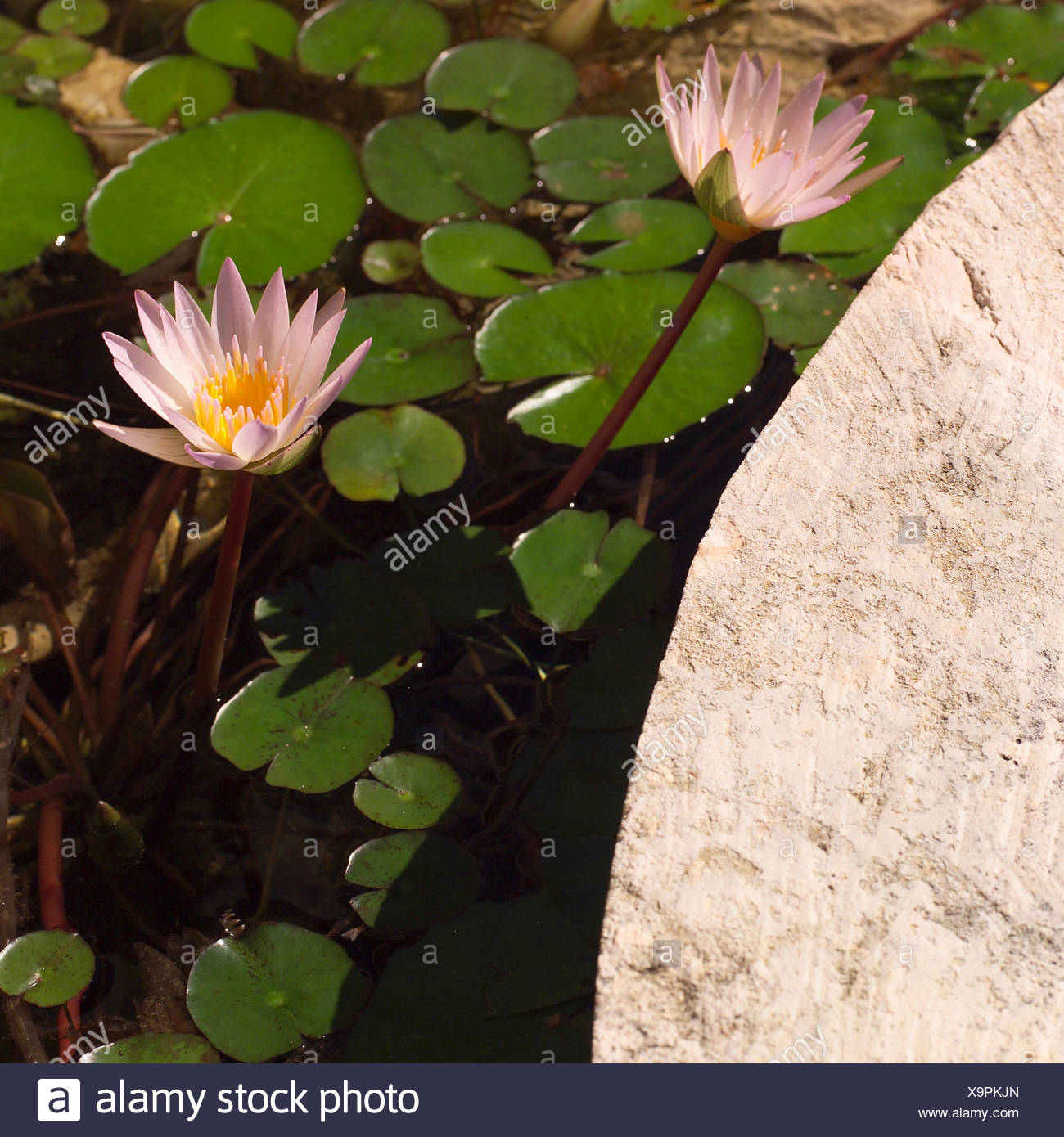 Leaf flower plant leaves flowers lily fresh water pond water leaf flower plant leaves flowers lily fresh water pond water tropical lilies izmirmasajfo