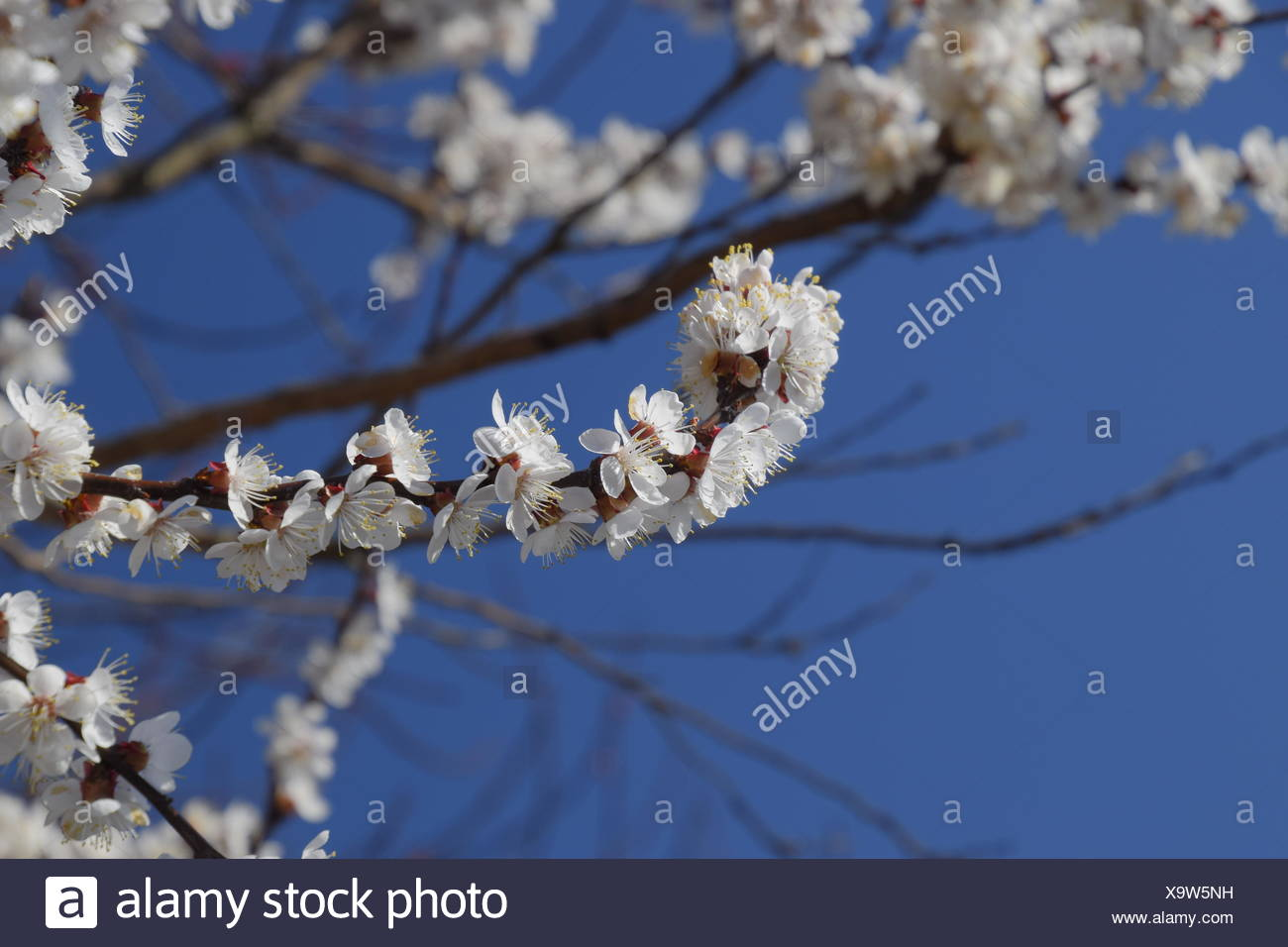 Spring Flowering Trees Pollination Of Flowers Of Apricot Blooming