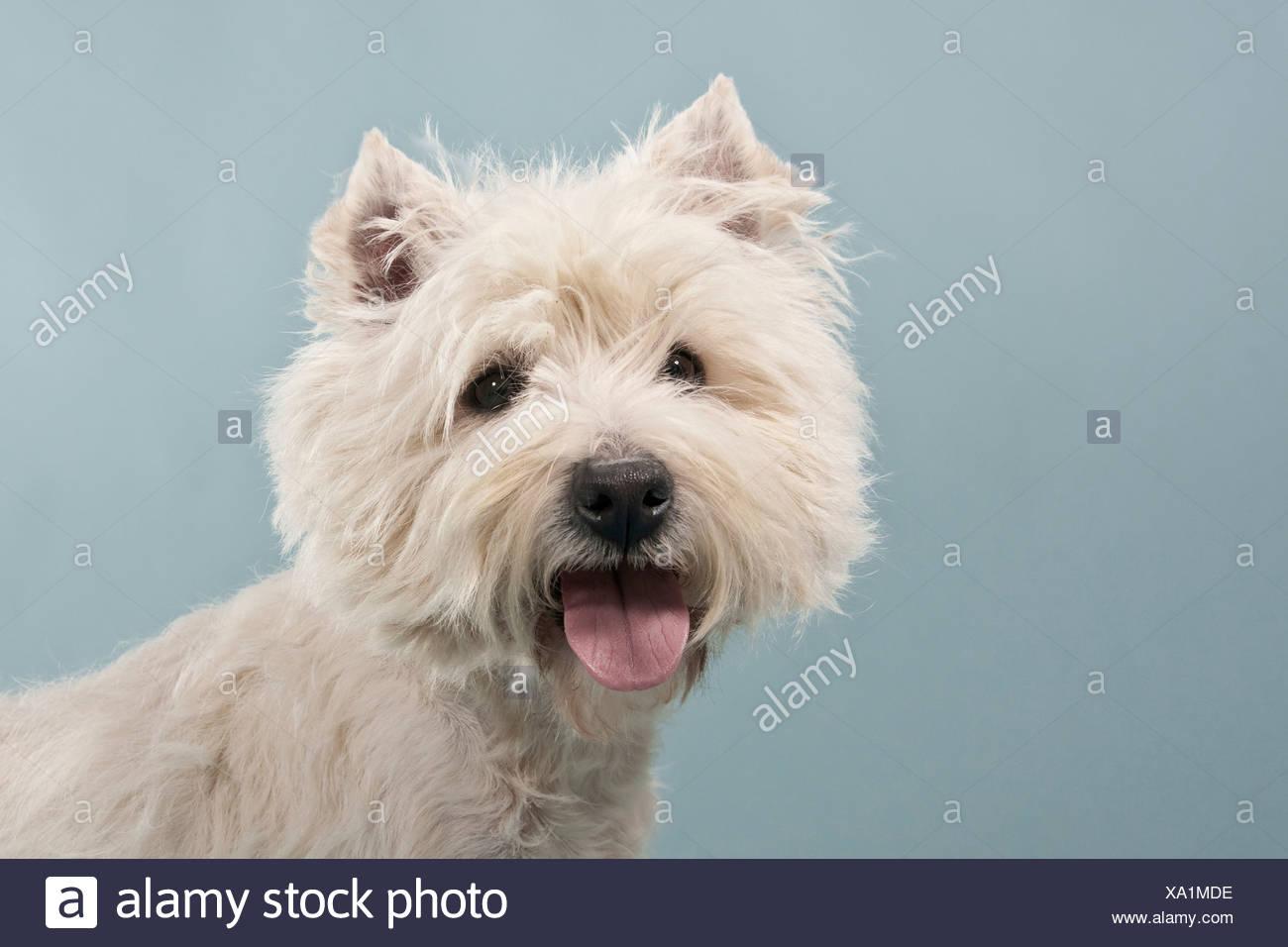 West Highland White Terrier, Westie, portrait Stock Photo: 281550458 ...