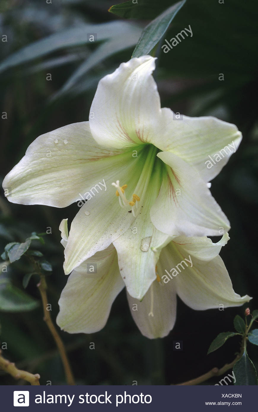 Lily flowers symbolize purity and refined beauty. Color or type can ...