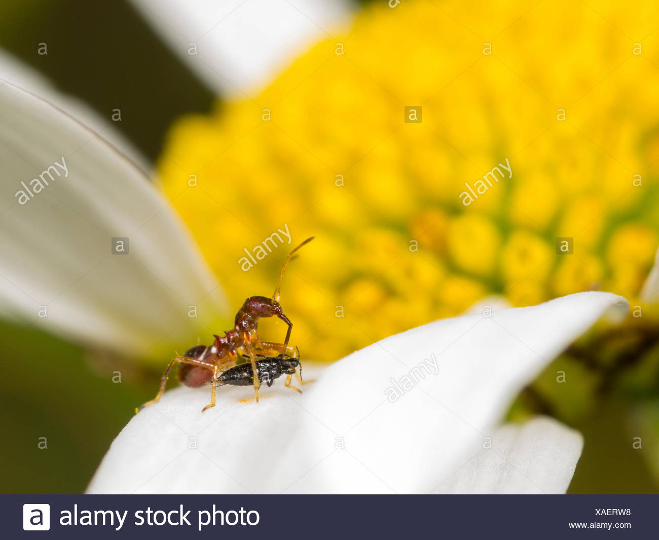 samsel bug himacerus mirmicoides young larva eats a captured thrips suocerathrips lingus