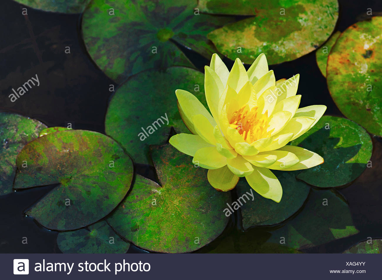 Yellow Lotus Flower With Green Leaves In The Background In An