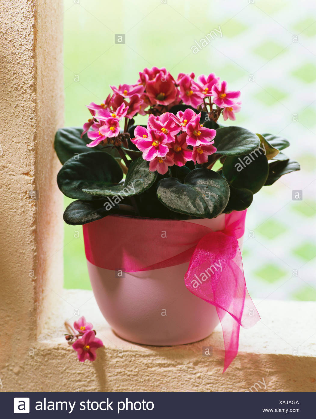 Pink African violets in cache-pot Stock Photo: 281915882 - Alamy