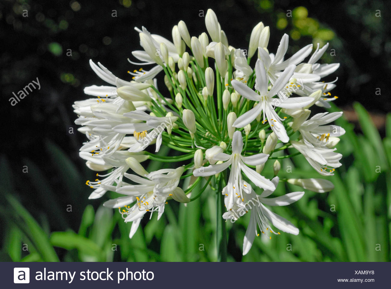 Lily of the nile agapanthus sp christchurch south island new lily of the nile agapanthus sp christchurch south island new zealand izmirmasajfo