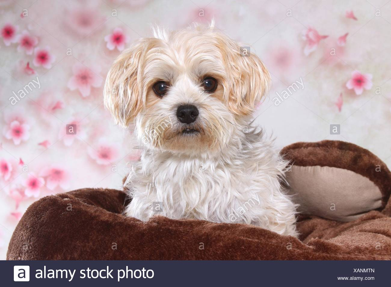 Golddust Yorkshire Terrier Portrait Stock Photo 281989813 Alamy