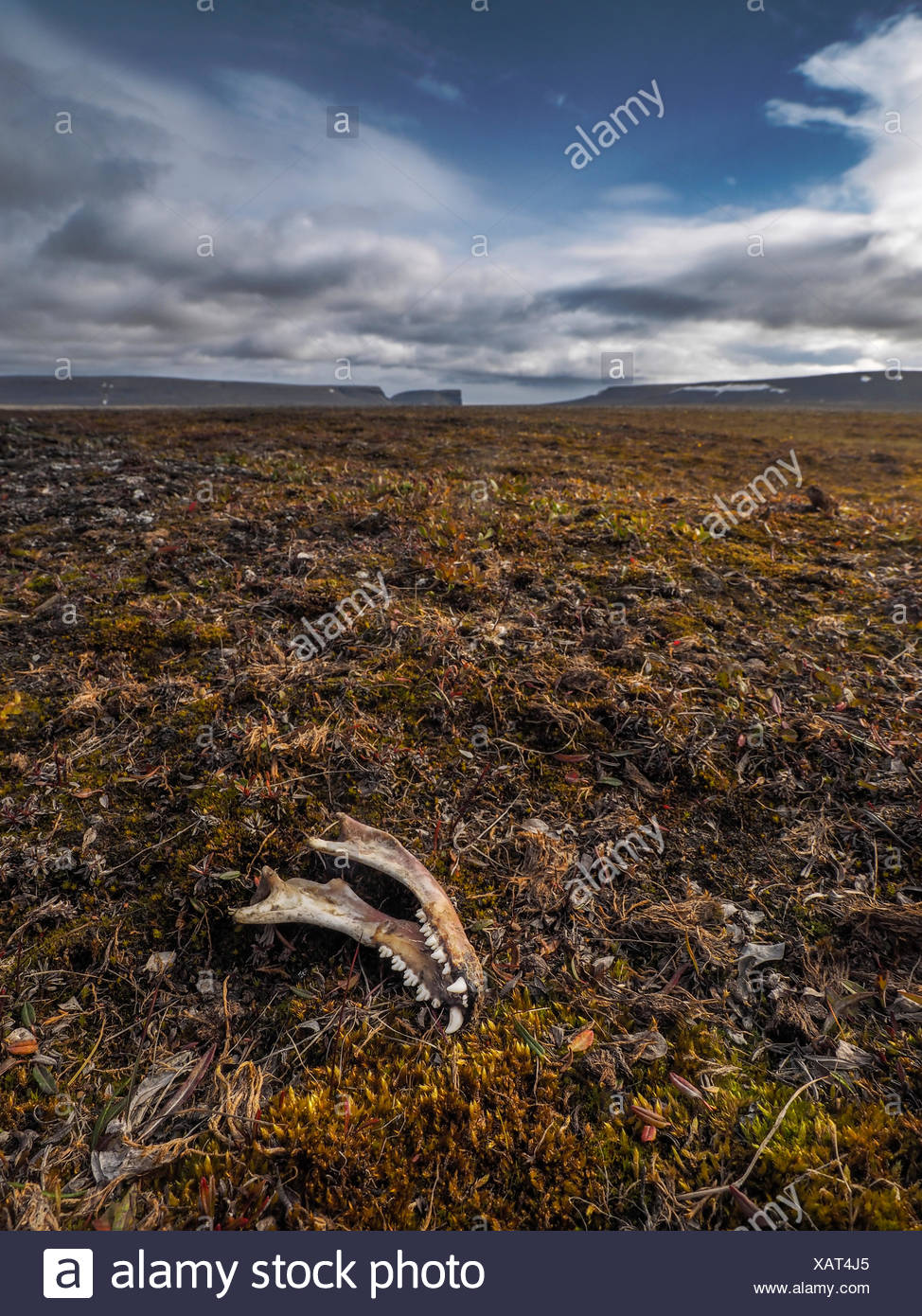 Animal jawbone stock photos animal jawbone stock images alamy the jawbone of an animal in a barren and windswept tundra stock image biocorpaavc Image collections
