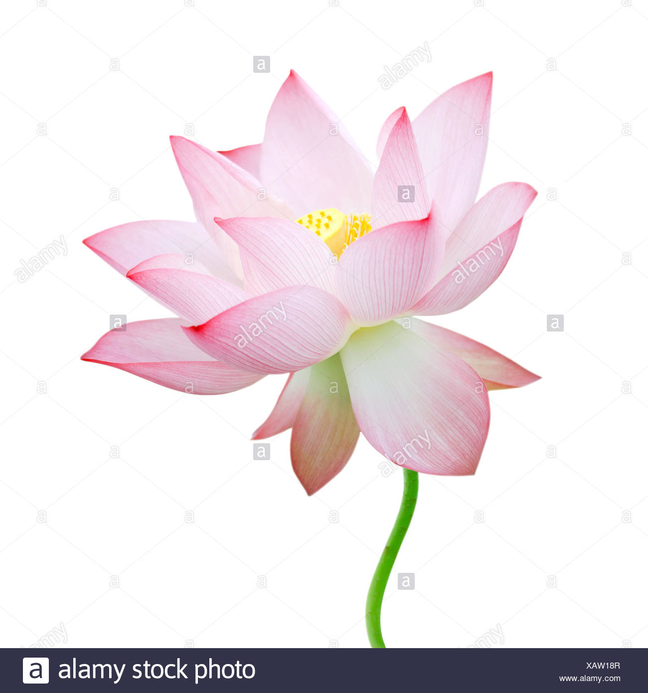 Lotus Flower Isolated On White Background Stock Photo 282062279 Alamy