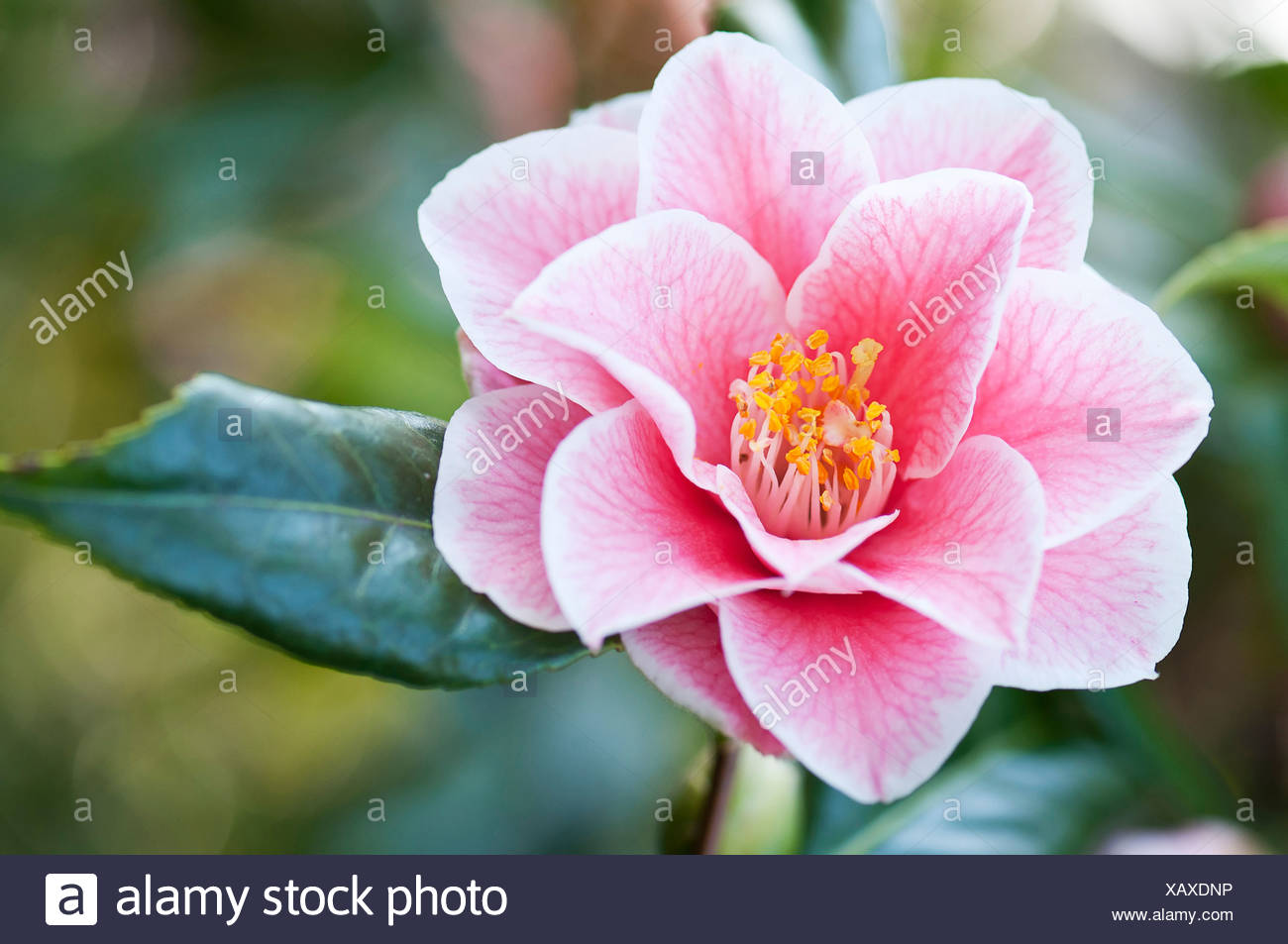 Single pink flower of camelia japonica yours truly with delicate single pink flower of camelia japonica yours truly with delicate veining extending over petals and yellow stamen in centre mightylinksfo