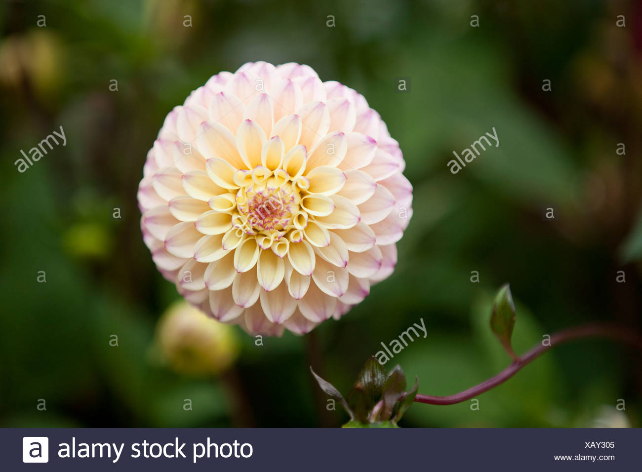 A white dahlia flower in bloom close up stock photo 282107509 alamy a white dahlia flower in bloom close up izmirmasajfo