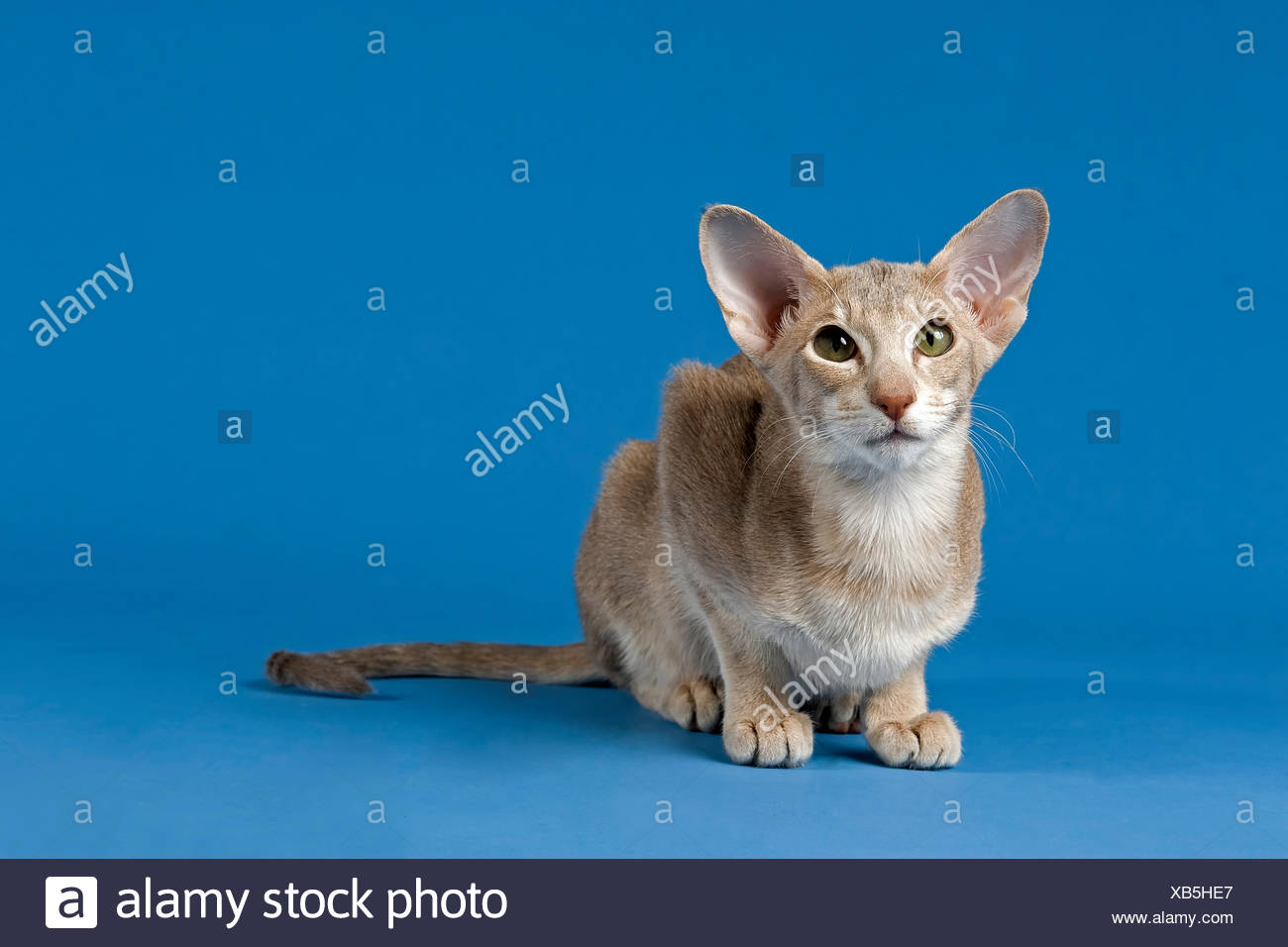 Blue Lilac Abyssinian Cat