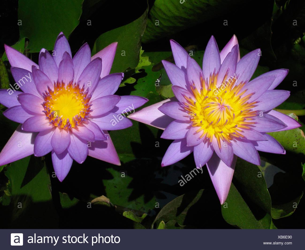 Close Up Of Two Purple Lotuscred Lotus Nelumbo Nucifera Family