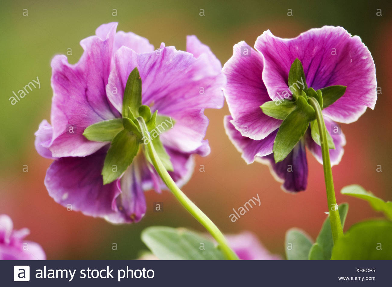 Two dark pink pansy flowers viola x wittrockiana stock photo two dark pink pansy flowers viola x wittrockiana mightylinksfo